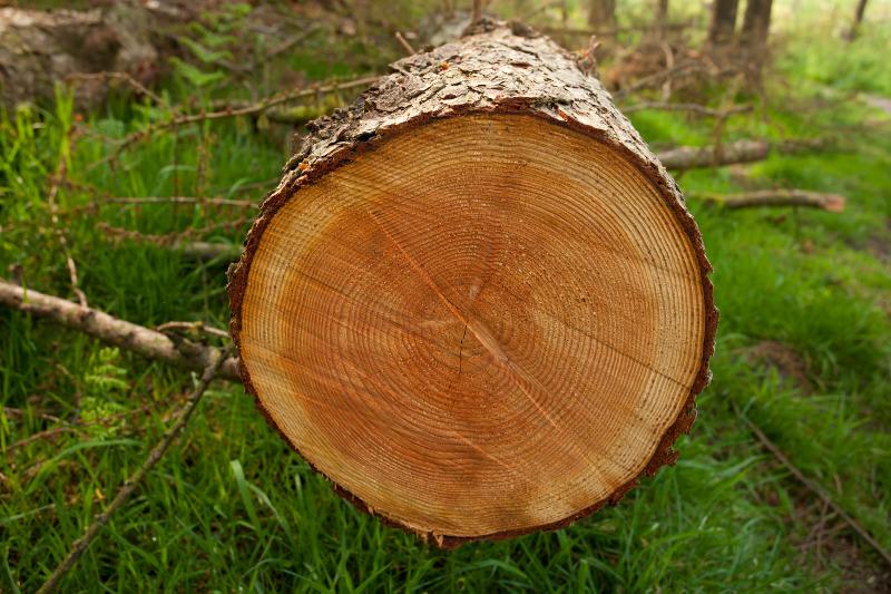 Ścięte drzewo - słoje