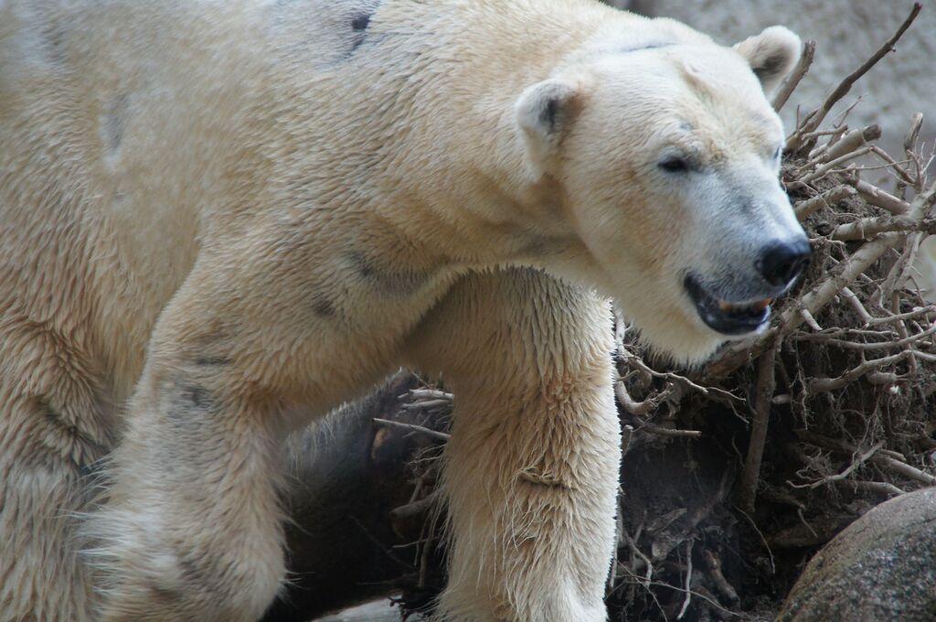 Niedźwiedż polarny