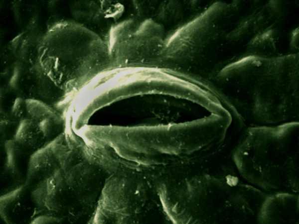 Zdjęcie przedstawia mikroskopowy obraz aparatu szparkowego, na ciemnym tle widać coś przypominająceog oko z powieką