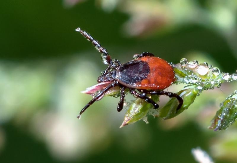 Kleszcz pozpolity - pajęczak o czarno-rudym odwłoku, siedzący na liściu