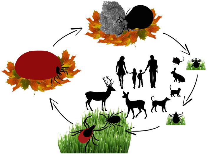 Rysunek przedstawia cykl rozwoju kleszcza: kleszcz składający jaja, strzałka, mały pajęczak - obok niego sylwetki małych ssaków, np. myszy, strzałka, większy pajęczak - obok neoo sylwetki kota, psa, ludzi, strzałka, większy pajęczak, strzałka, napęczniała, duża samica, strzałka, samica składająca jaja