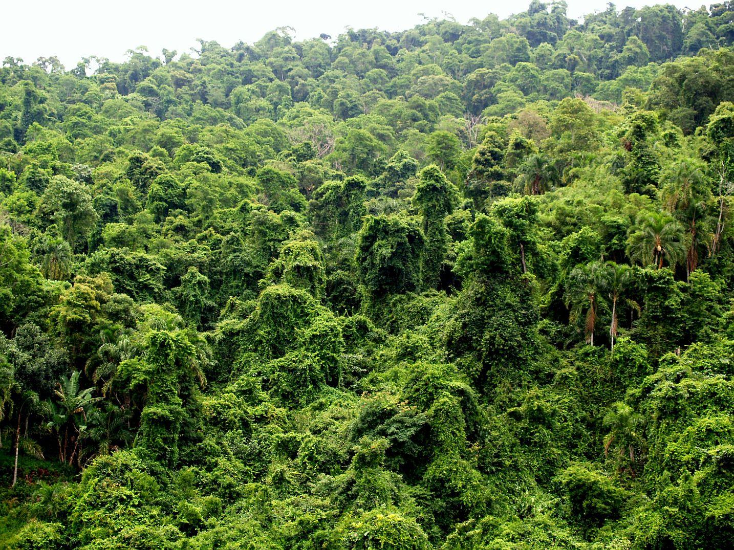 Zdjęcie: Amazonia, gęsto splątane korony drzew w lesie deszczonym, widziane od góry.