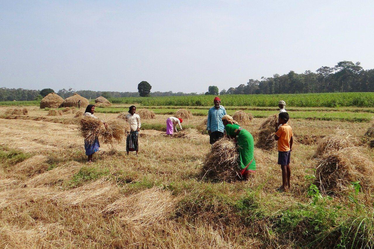 Zbiory na polu w Indiach.