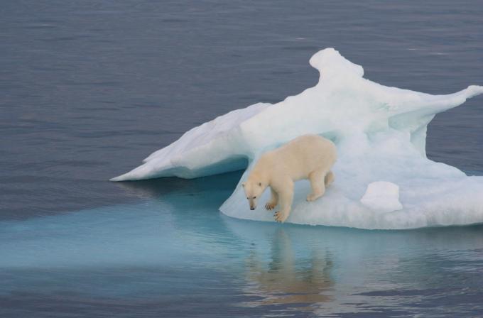 Zdjęcie: niedźwiedź polarny na fragmencie lodu morskiego.