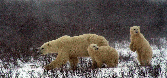 Zdjęcie: niedźwiedzica polarna prowadzi dwa niedźwiedziątka przez zaśnieżony krajobraz lądowy.