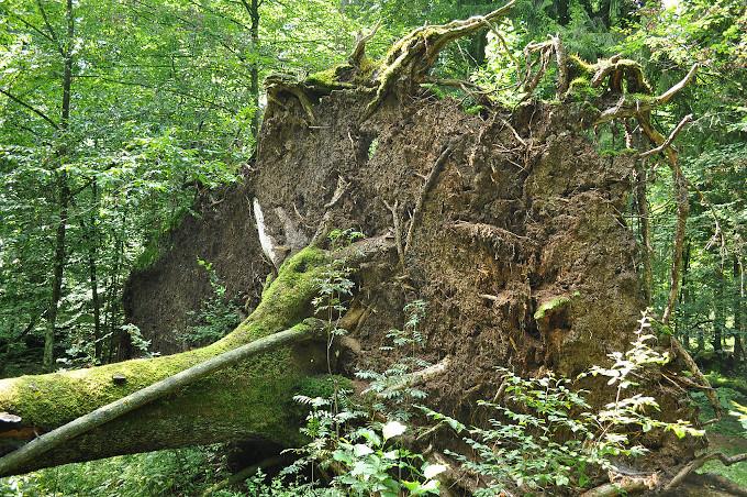 Zdjęcie: wykrot, wystające nad poziom gruntu korzenie drzewa wraz z masą gleby.