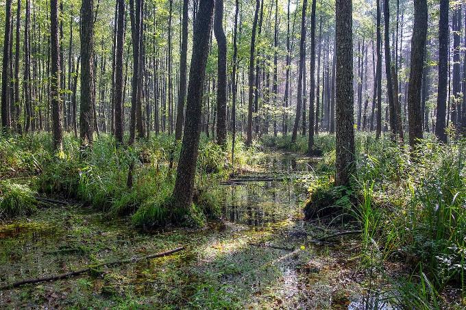 Puszcza Białowieska, teren podmokły. Widać dużo drzew i między nimi płytką, stojącą wodę