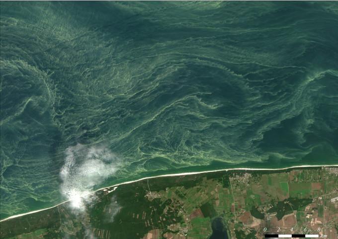 Zdjęcie satelitarne: sinice w Bałtyku. Widoczne jest widziane od góry wybrzeże oraz połać morza, pokryta żółtymi zawijasami.