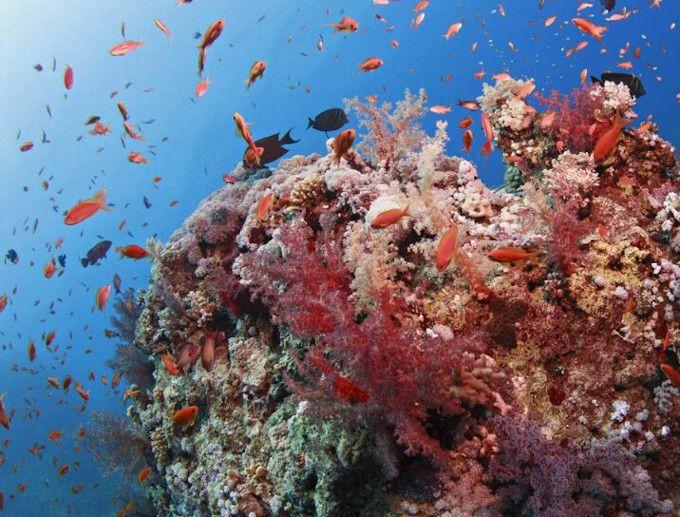 Zdjęcie rady koralowej, widoczne kolorowe podłoże i mnóstwo małych, kolorowych rybek