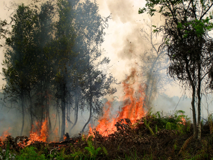 djęcie: pożar w Indonezji. Widać objęte ogniem drzewa o cienkich pniach i paprocie.