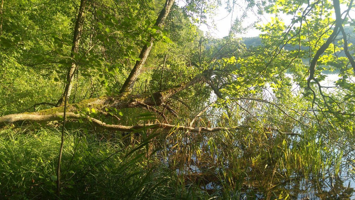 Zdjęcie: drzewo na skraju lasu, nad jeziorem, z pniem nachylonym niemal do poziomu.