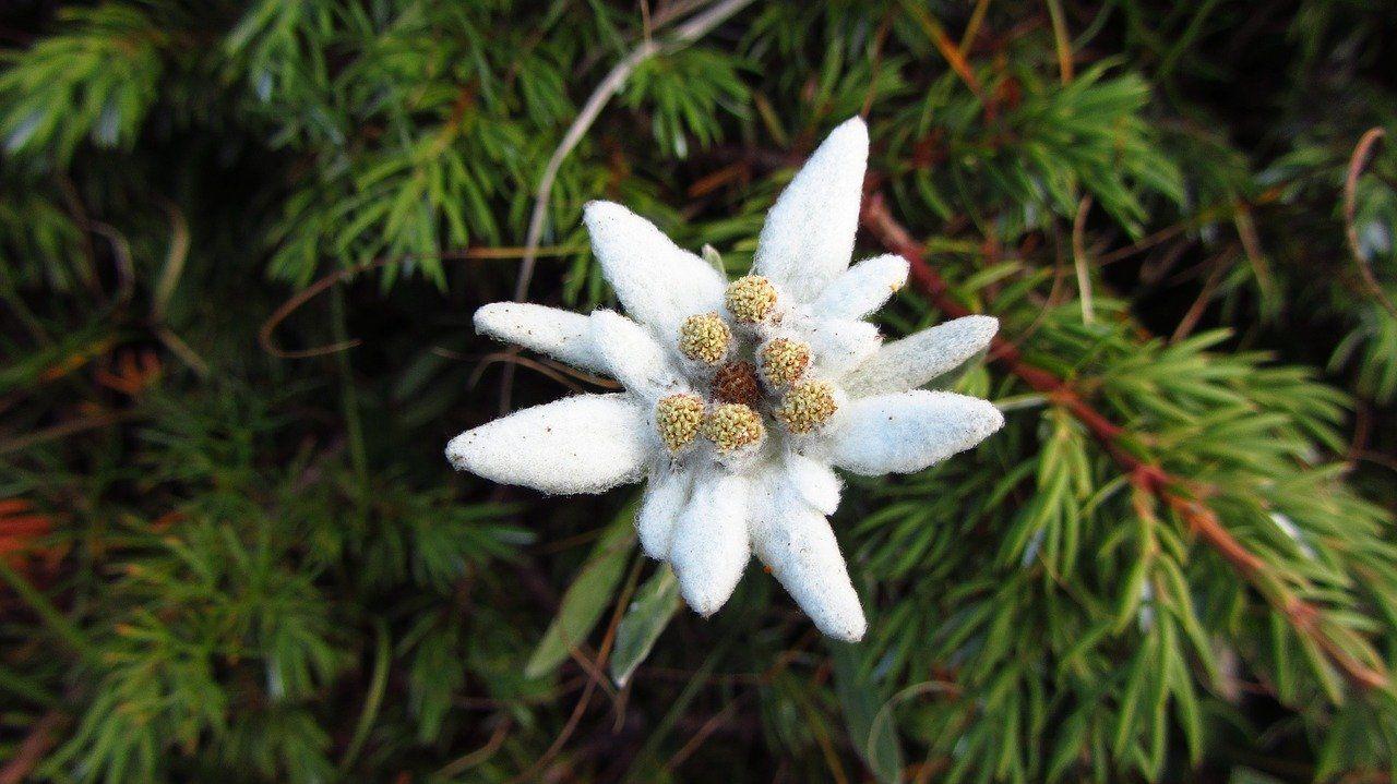 Zdjęcie: szarotka alpejska, biały kwiatek o mięsistych, spiczastych płatkach na tle gałązek z igłami
